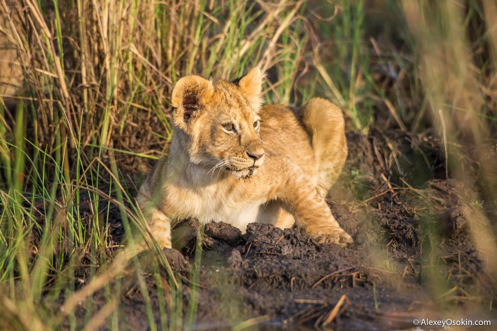 17. Львы менее выносливы, чем, например, гиены: у последних сердце составляет 1 % от всей массы
