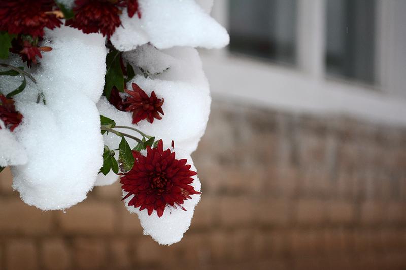 цветы в снегу 25.jpg