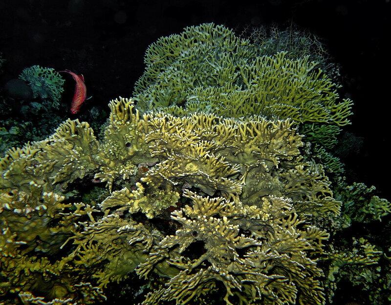 Сетчатый жгучий коралл (Millepora dichotoma)