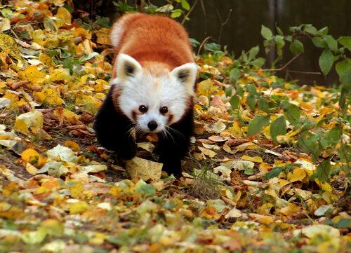 Панда в осени