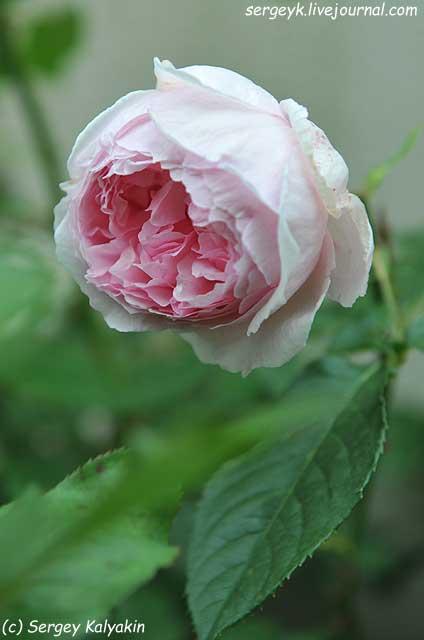 Rosa The Wedgwood Rose (14).JPG