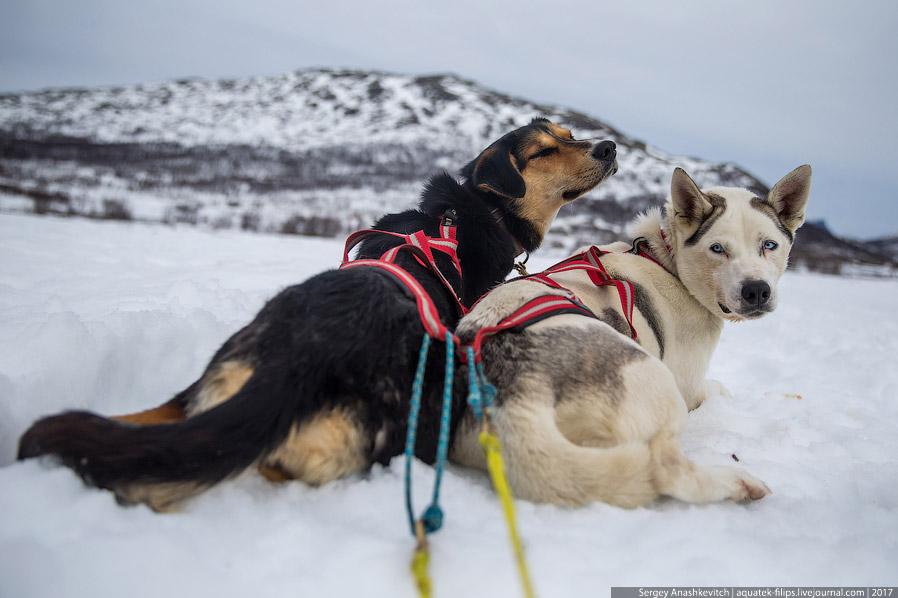 6. Когда дело движется к концу, собаки приходят в неистовое возбуждение и нетерпеливо вертятся
