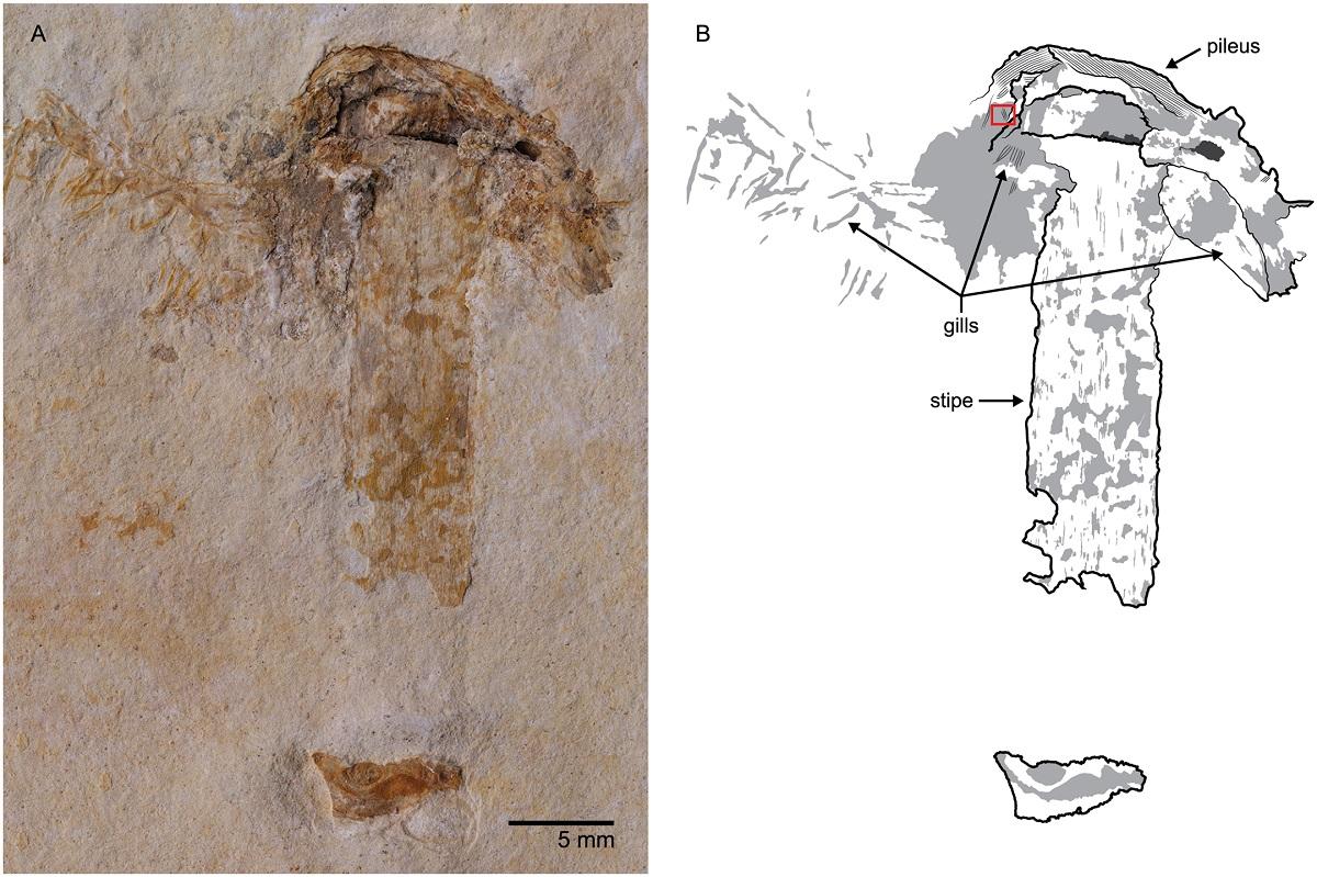 Группа палеонтологов нашла самый старинный гриб наЗемле