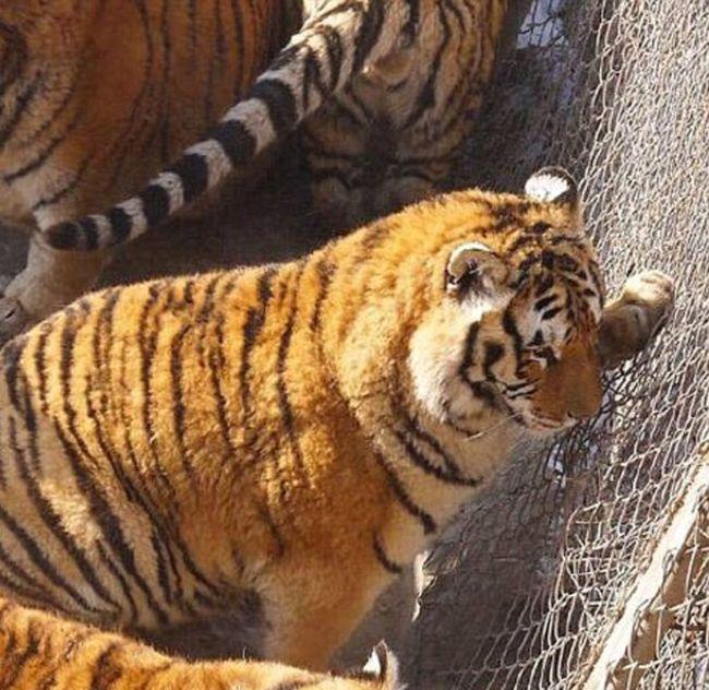 Когда любимая говорит ты мой тигр