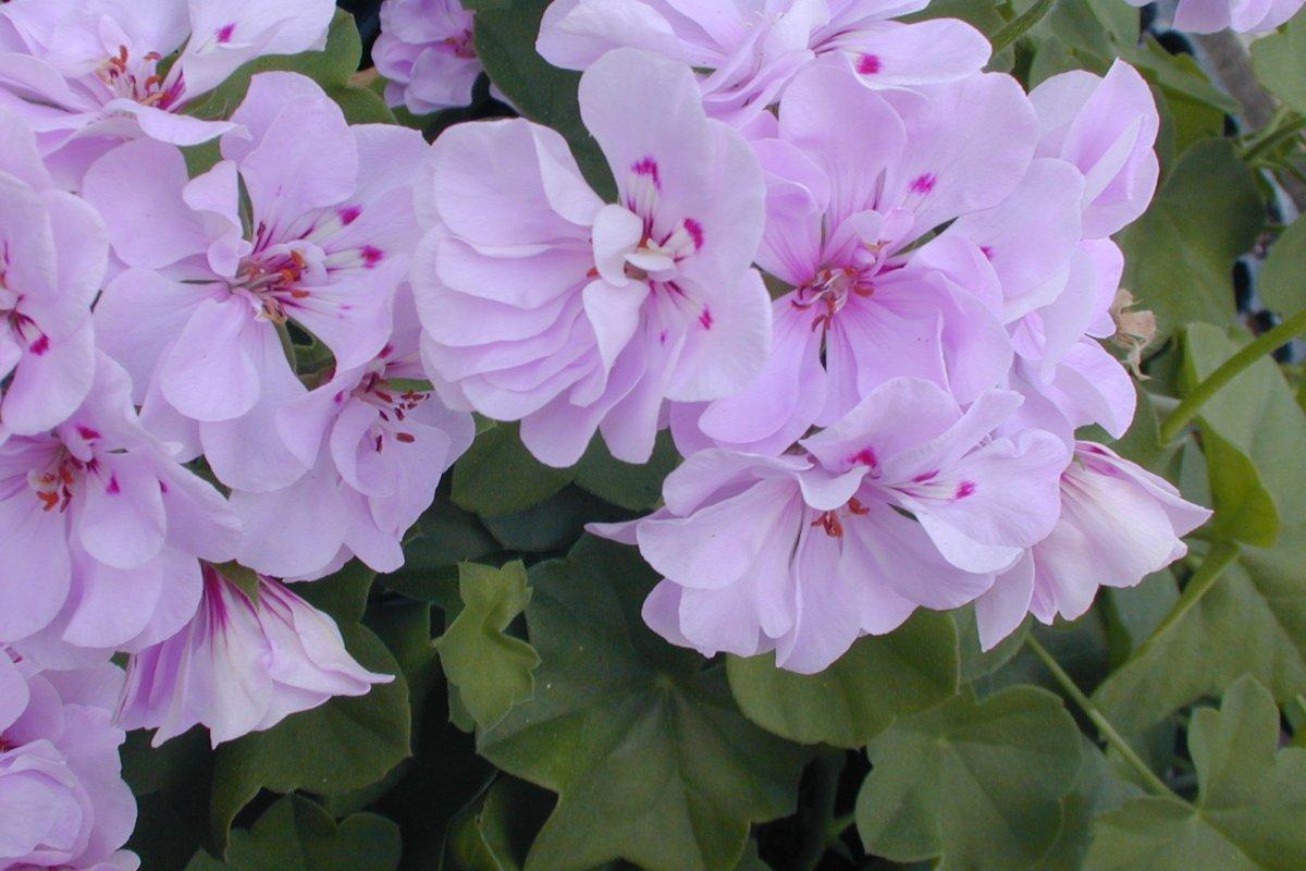 Многолетние цветы сорта Пеларгония Ампельная
