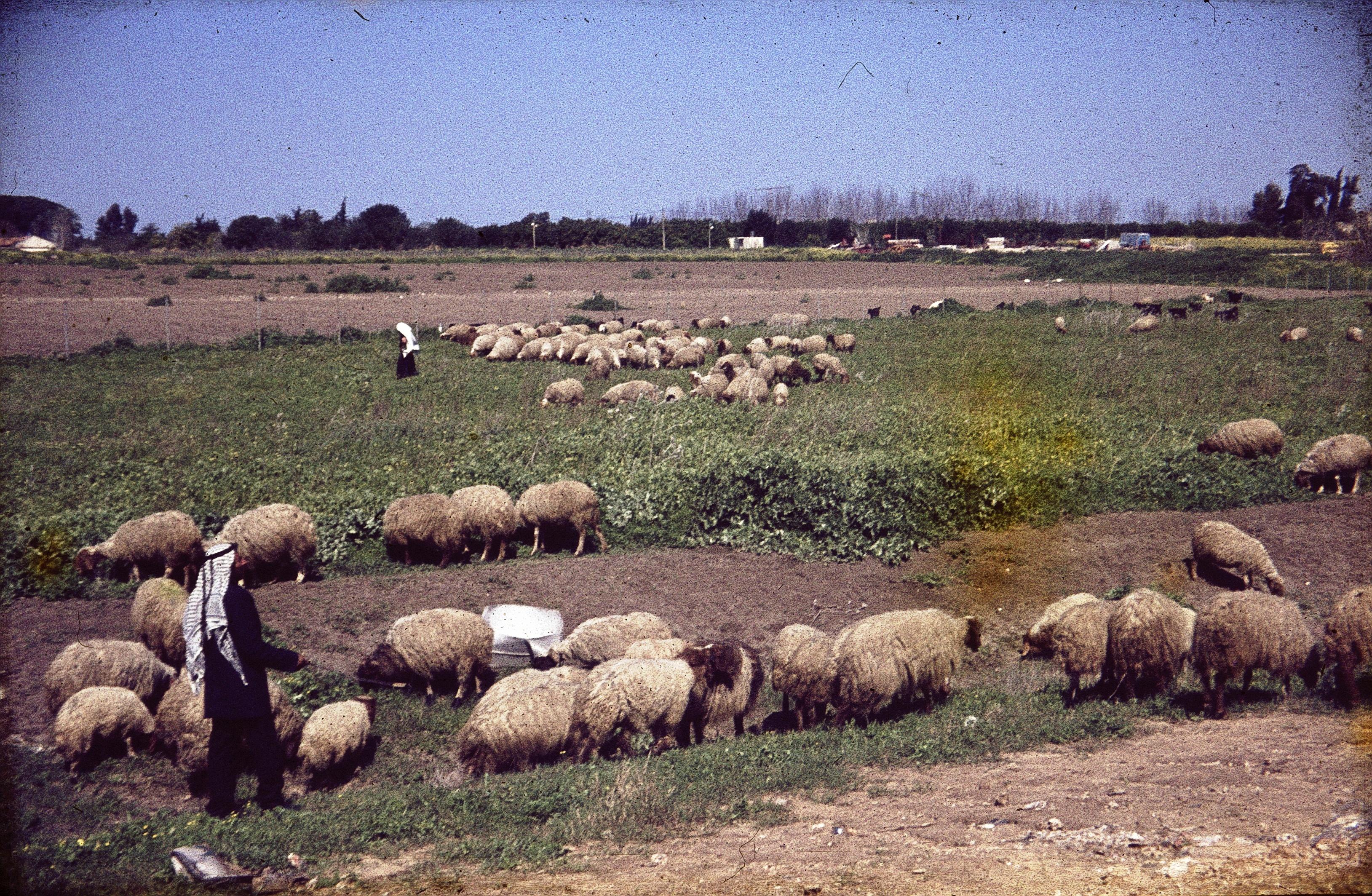 Негев. Пастух с овцами