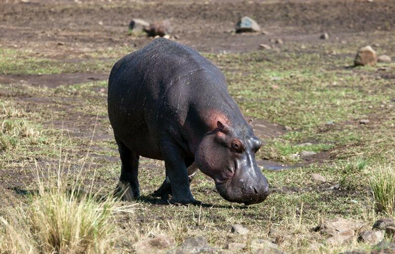 Бегемот спасает антилопу! Фотосафари в Кении