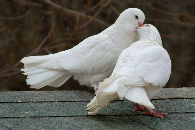 Фото-белых-голубей-768x513.jpg