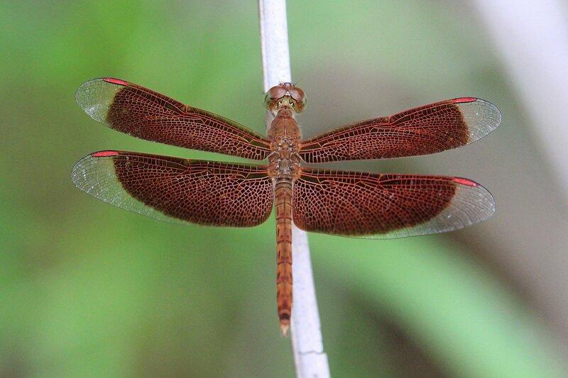 Красновато коричневая стрекоза с прозрачными концами крыльев и яркими красными метками на крыльях из рода Neurothemis, Снято в Khao Lak, Таиланд