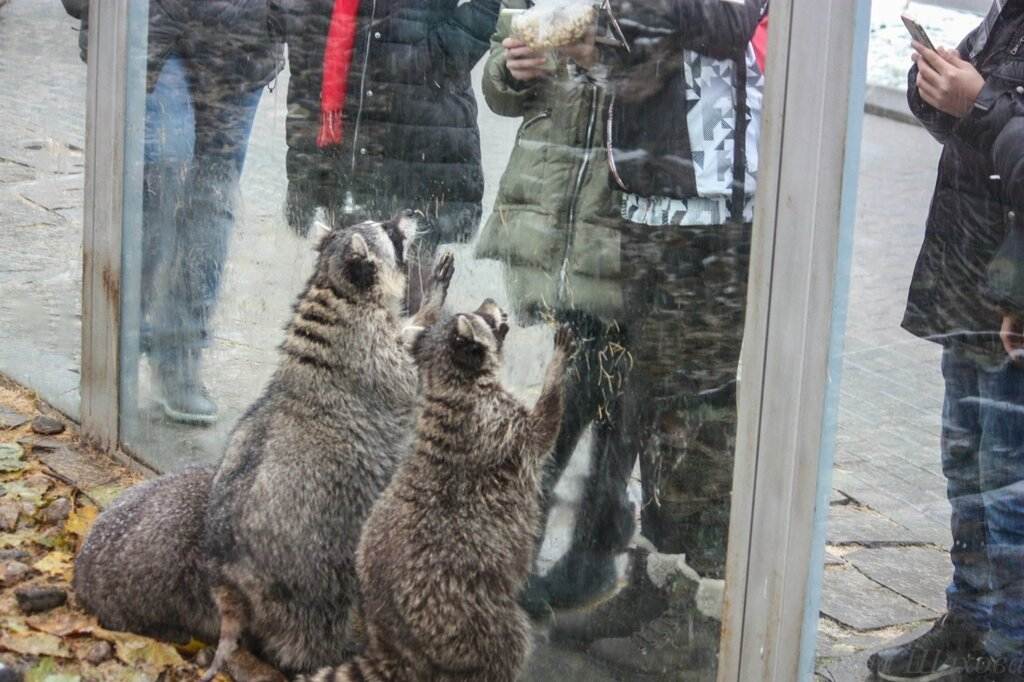Зоопарк - еноты-24.jpg