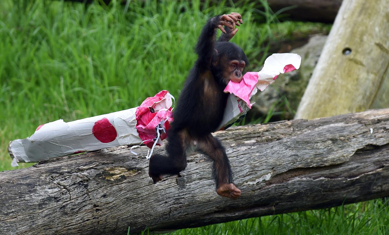 Шимпанзе Фумо открывает подарки в зоопарке Таронга, Сидней.