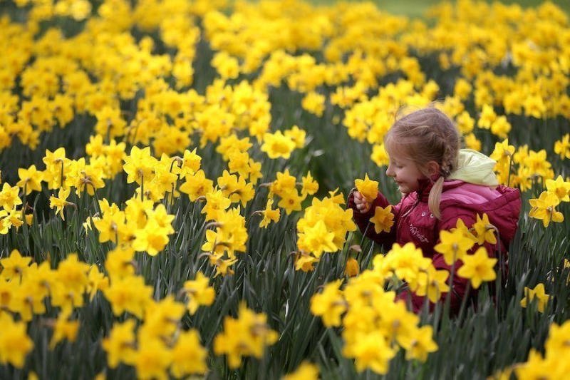 A little girl plays in the daffodils in St. James Park in London, England.