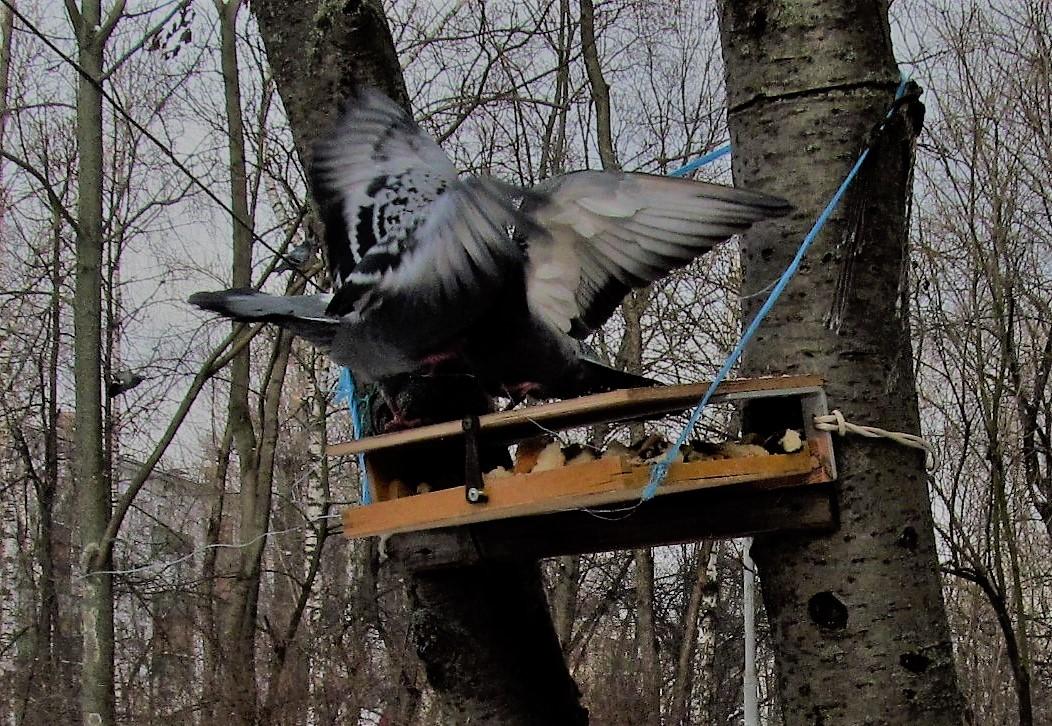 голуби (4).JPG