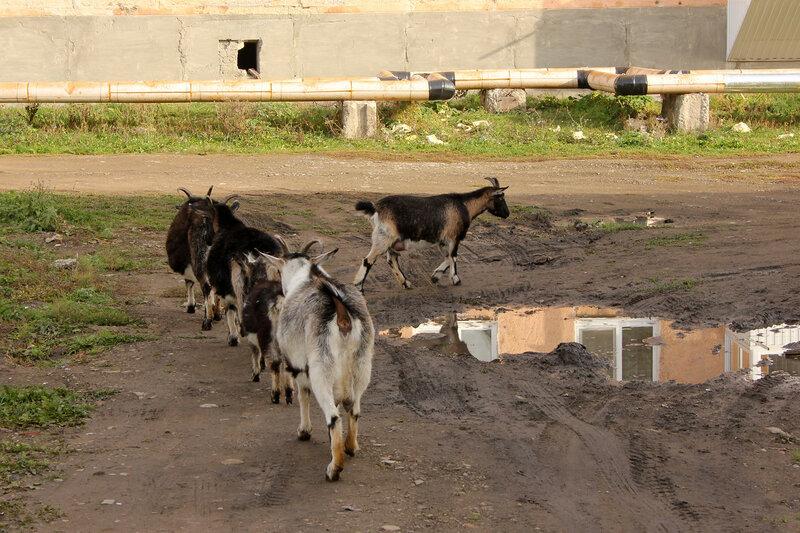 Козы в городе Сим, Челябинская область