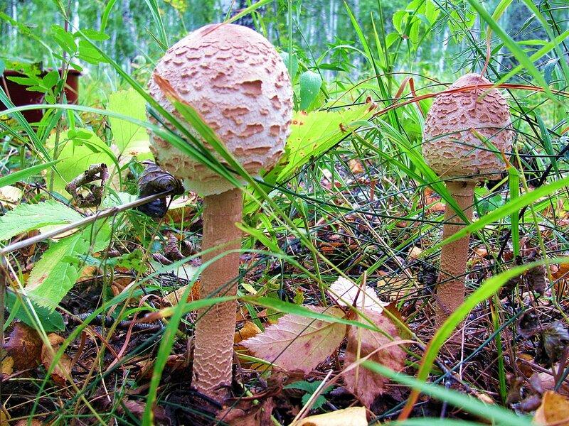 специальности «Тепловые съедобные грибы башкирии фото и название целом