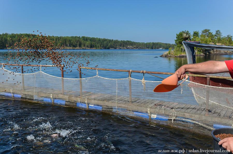 22. Обычный аттракцион для посетителей рыбных хозяйств — покорми рыбку.
