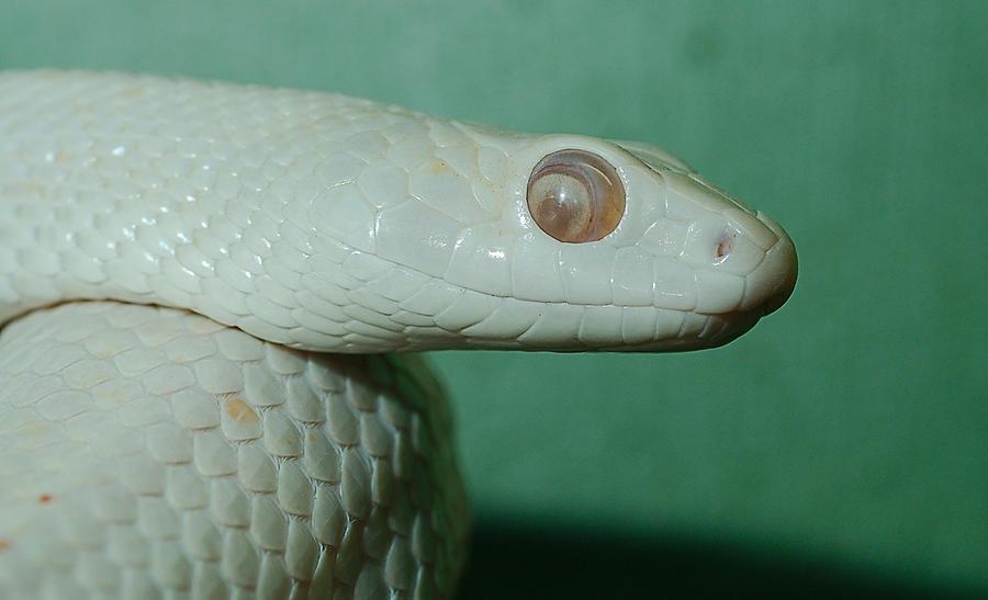 4. Змея Elaphe obsoleta lindheimeri