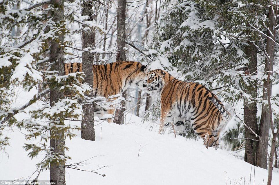 5. По данным тигриной переписи 2015 года, на Российском Дальнем Востоке обитает 523—540 амурски