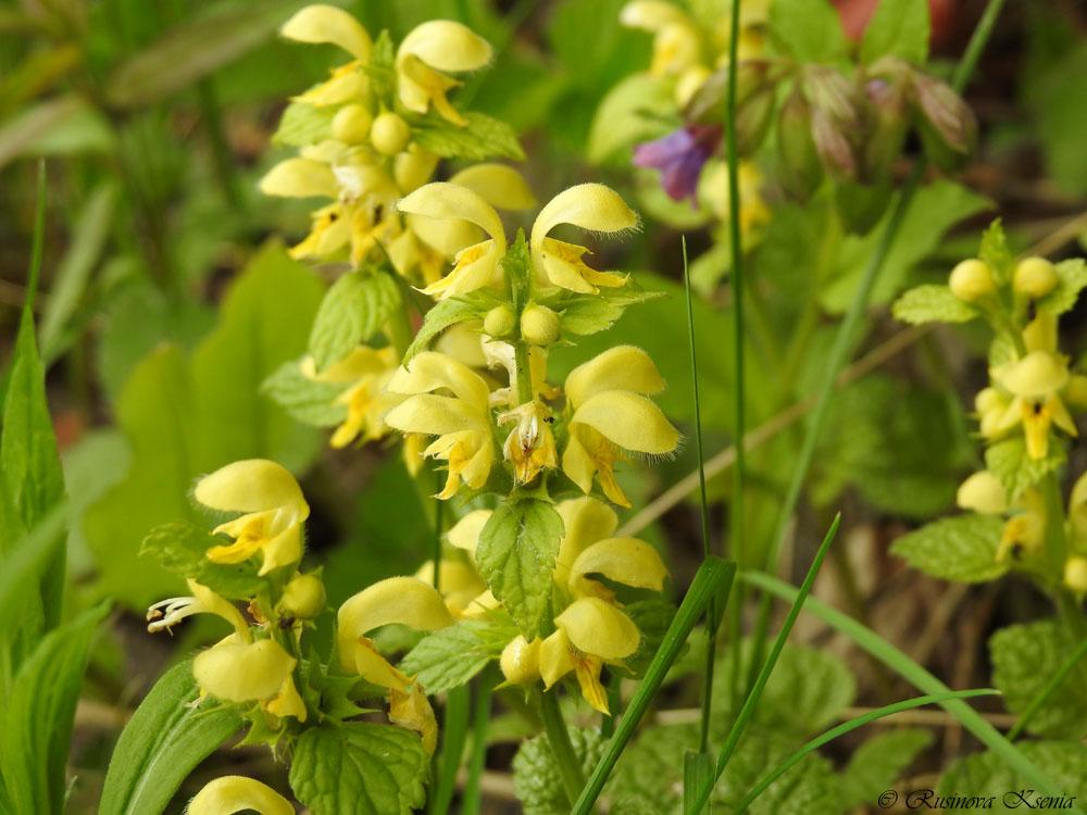 Ясно́тка зеленчуко́вая, или Ясно́тка жёлтая (лат. Lámium galeóbdolon) — многолетнее травянистое растение, вид рода Яснотка семейства Яснотковые.