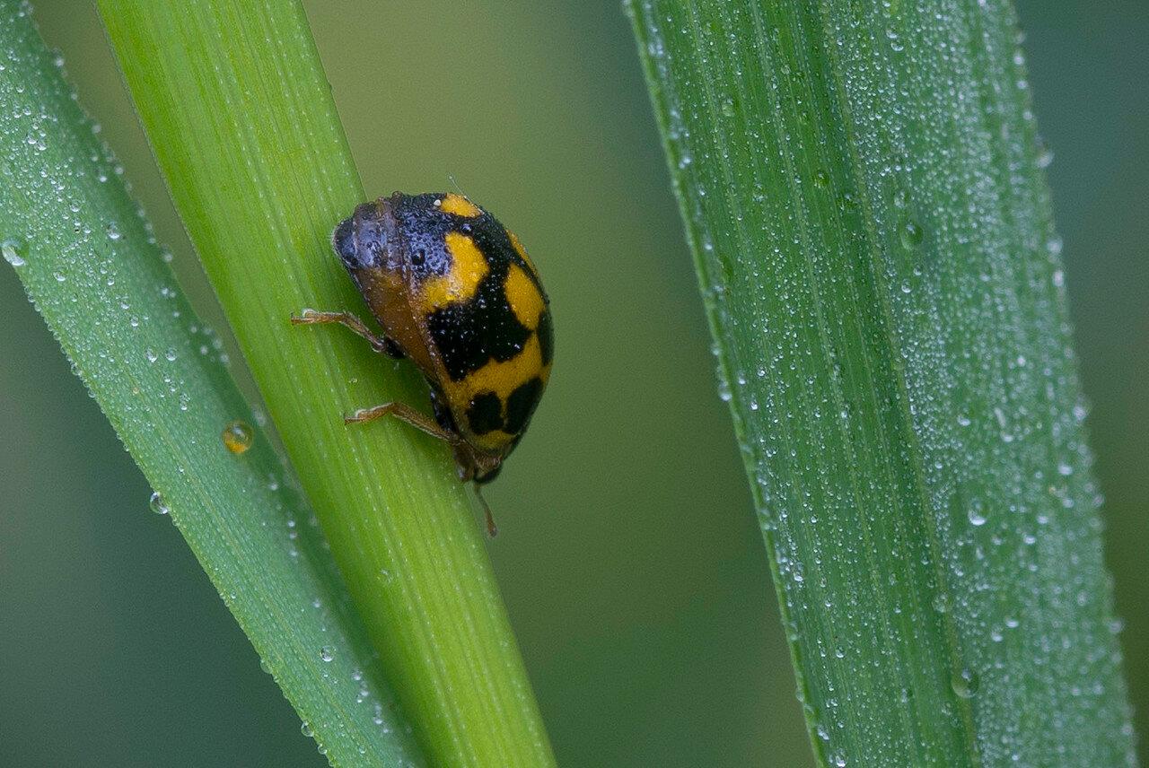 Коровка четырнадцатиточечная (Propylea quatuordecimpunctata) Автор фото: Владимир Брюхов