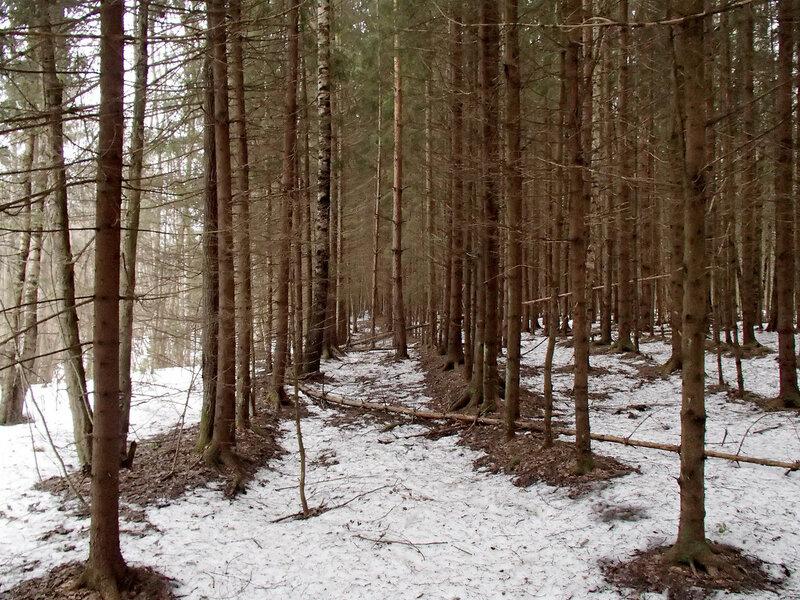лесопосадки ели у красницы