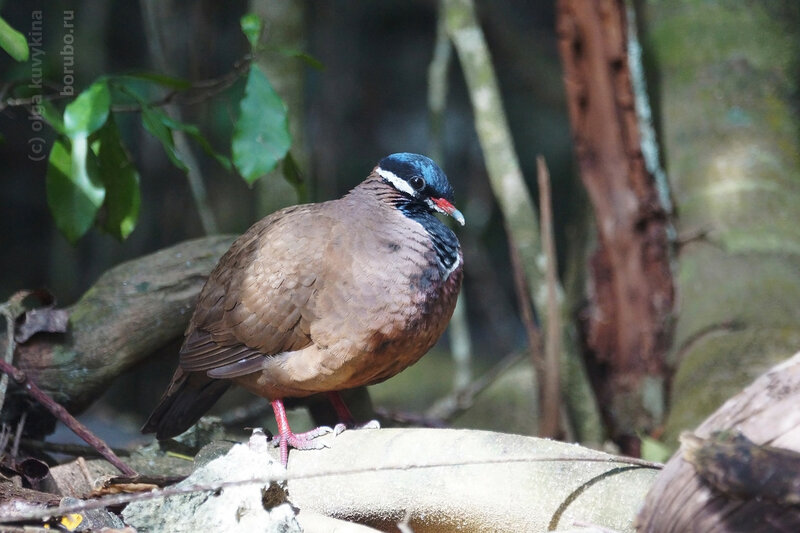 The blue-headed quail dove (Starnoenas cyanocephala)