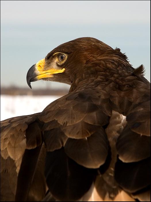 орёл степной.jpg