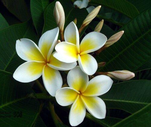 Чампака Плюмерия растет в Индии на высоких деревьях