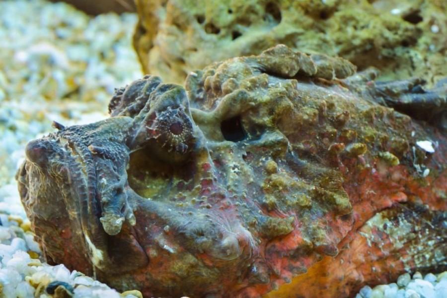 10. Бородавчатки Эти рыбы с зеленовато-коричневой кожей, покрытой ядовитыми шипами, считаются одними