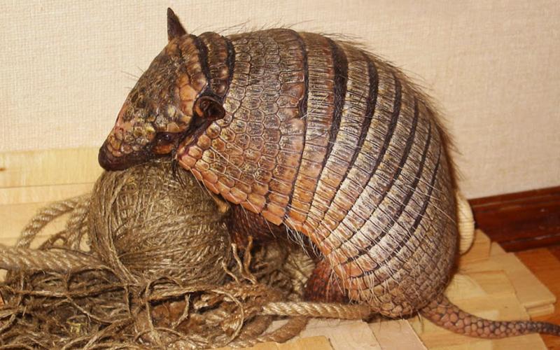 10. Броненосец Это экзотическое животное из Латинской Америки имеет кроткий нрав, что позволяет держ