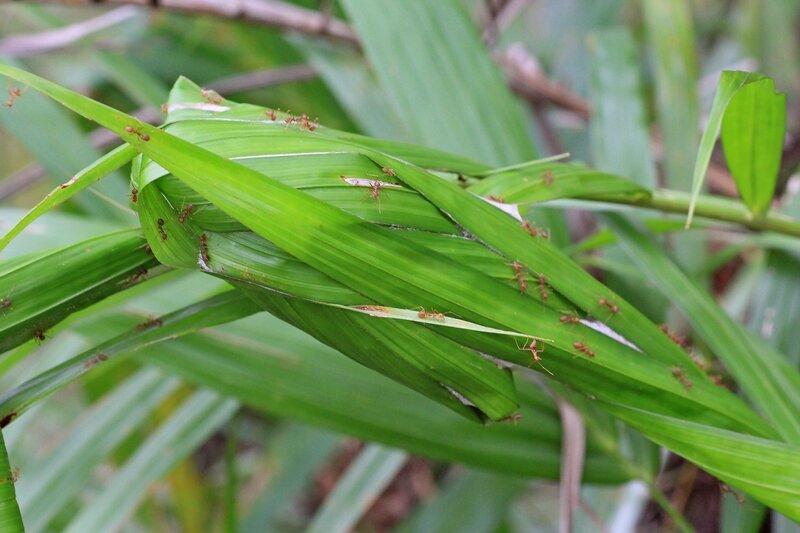 Гнездо муравьёв-ткачей (азиатский муравей-портной, Oecophylla smaragdina), свитое из листьев пальмы