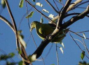 Grey-cheeked Green Pigeon - Серохвостый зелёный голубь (самец)