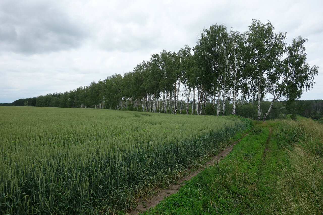 пшеница и берёзы