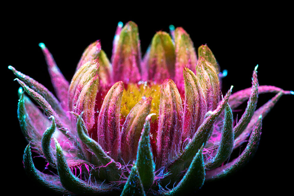 Цветы, освещённые ультрафиолетом