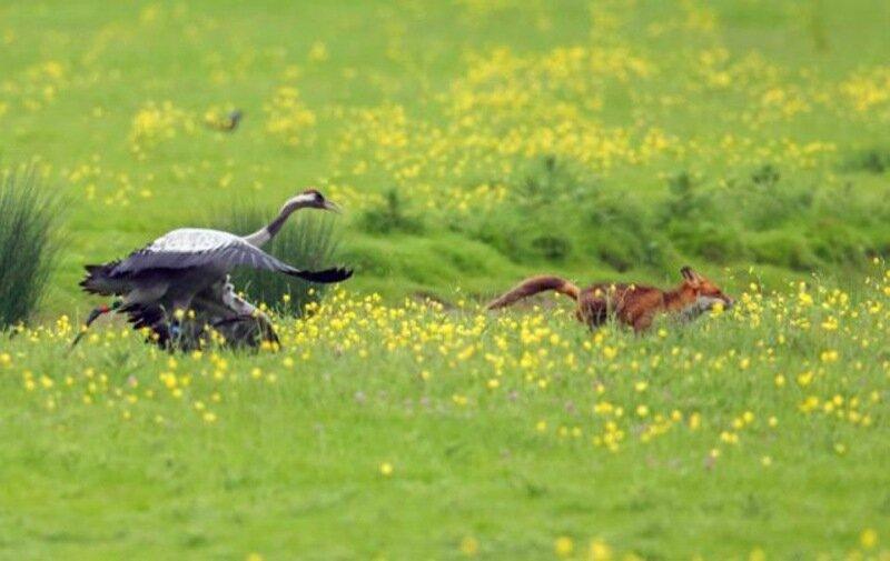 Неудачная охота хитрого лиса на журавлей   фото Angry Birds в реальной жизни
