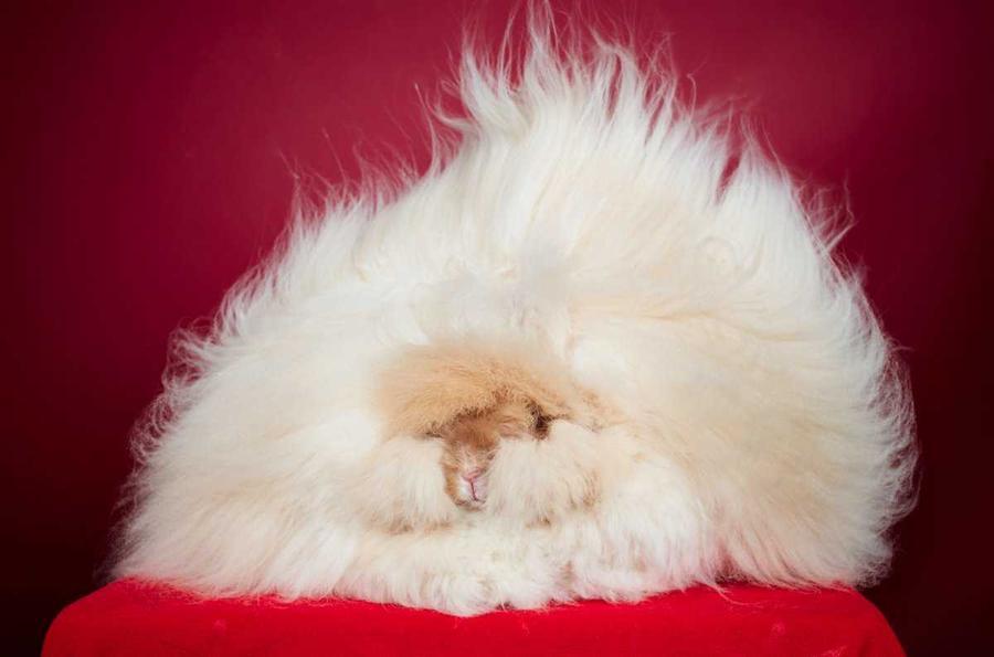 11. 2-летний английский ангорский кролик Франческа — рекордсмен по длине меха. Длина шерсти животног