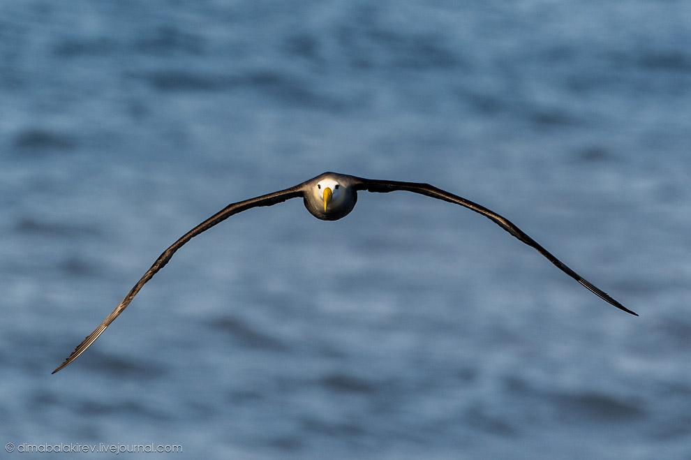 23. Кстати, они не могут взлететь, как обычные птицы. Поэтому пикируют со скалы вниз, набирают