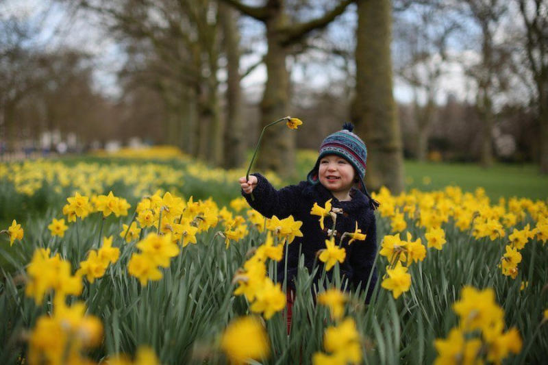 Betie, from London, plays among the daffodils in St James Park in London, England.