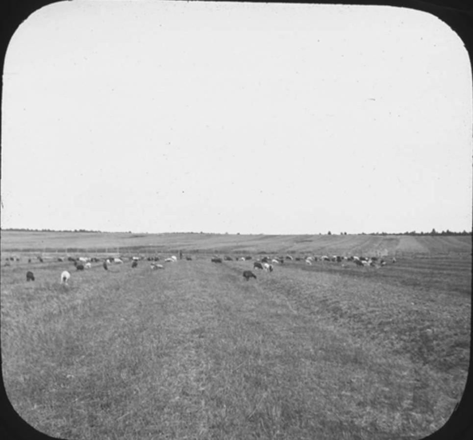 17. Коровы пасутся в поле