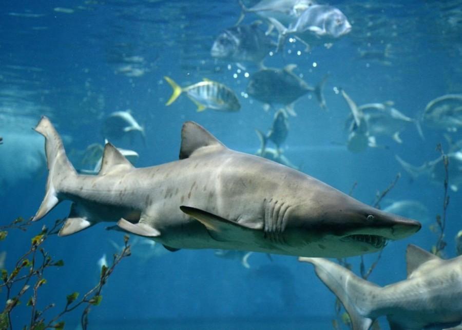 3. Акулы В Австралии встречается целых три вида особо опасных акул – бычья акула, тигровая акула и б