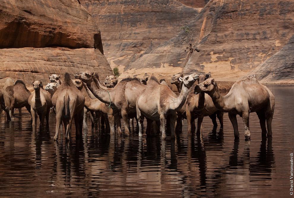 Также смотрите статью « Конкурс красоты у верблюдов ».