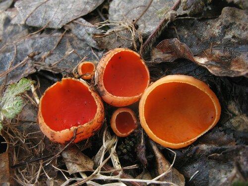 Саркосцифа австрийская (Sarcoscypha austriaca). Саркосциф морозом и снегом вряд ли можно напугать. Да и вообще показалось, что их в апреле выросло больше, чем обычно. Часто попадаются этой весной и грибы с оранжевой окраской. Причем, «оранжеватость» эта у саркосциф разная: у каких-то экземпляров ближе к желтому, у каких-то ближе к красному цвет Автор фото: Станислав Кривошеев