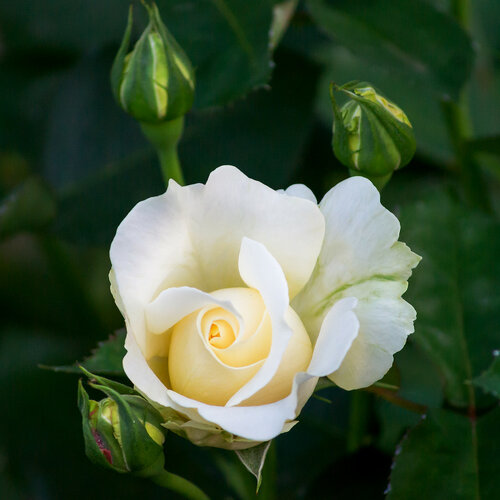 Расцвела в саду души моей, роза...