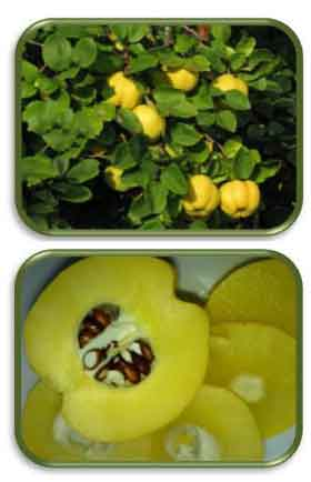 Плоды айвы полезны для здоровья