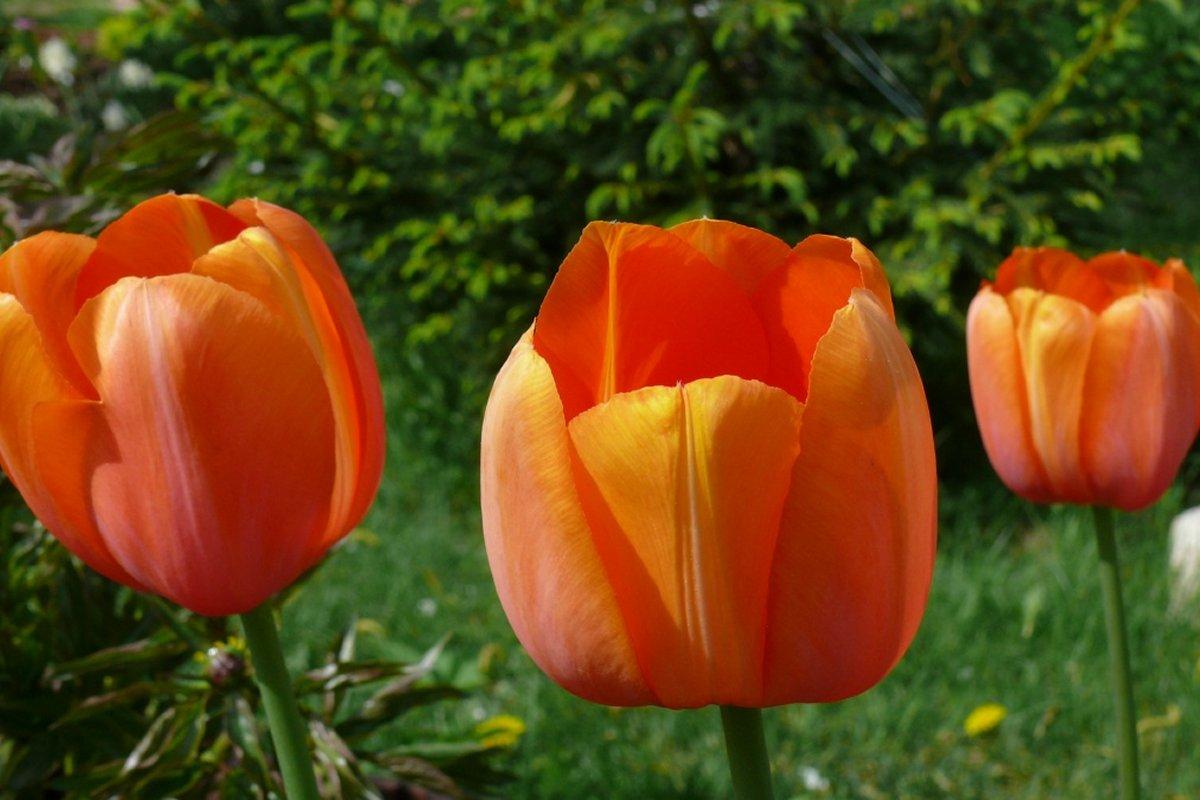 Тюльпаны оптом со скидкой