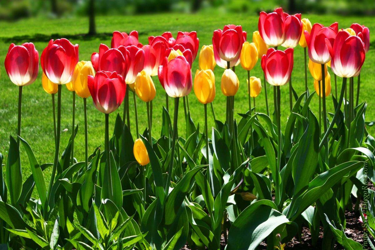 Луковицы тюльпанов онлайн