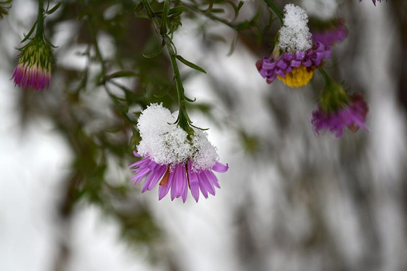цветы в снегу 4.jpg