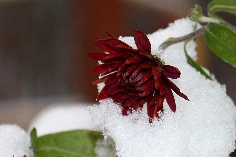 цветы в снегу 23.jpg