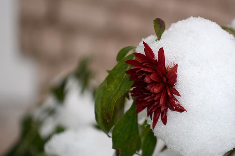 цветы в снегу 27.jpg