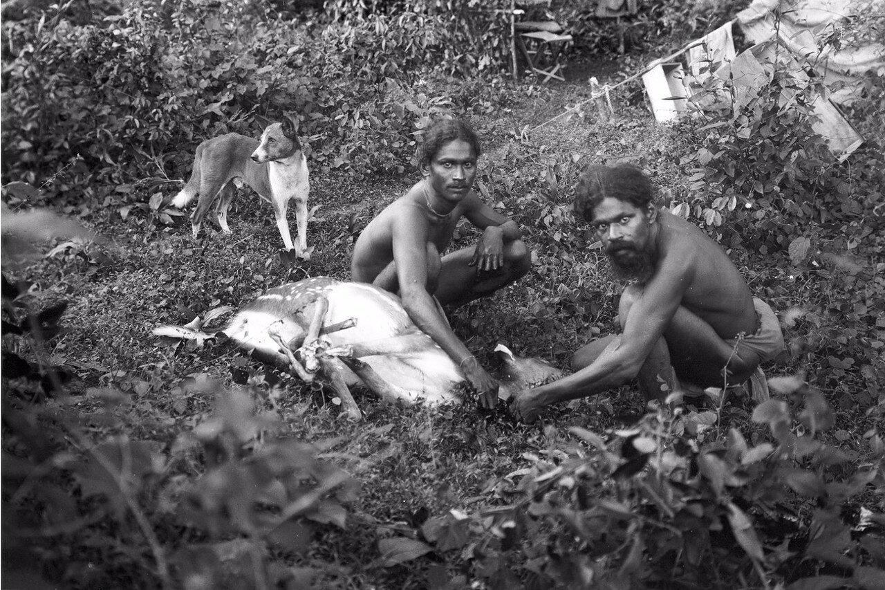 137. Два ведда поймали лань возле лагеря экспедиции в Хенебедде